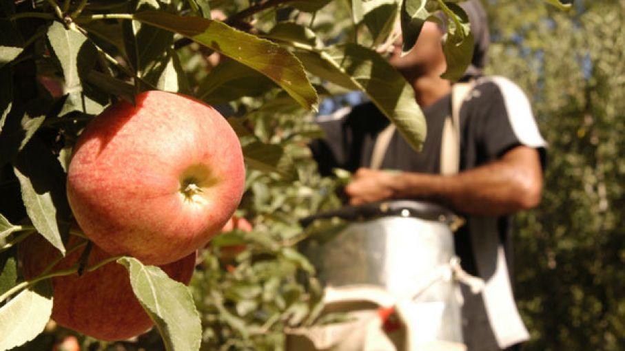 Alertan sobre costos de producción de peras y manzanas