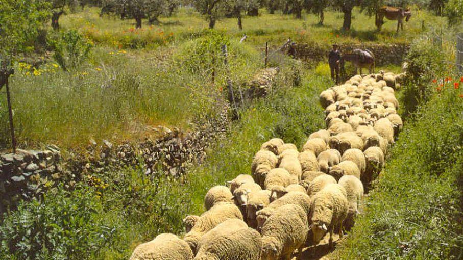 Principales razas ovinas del país