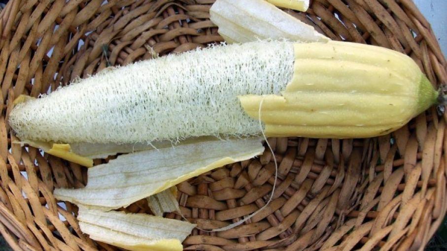 Cómo Cultivar Luffa Para Hacer Tu Propia Esponja Vegetal En Casa Agritotal