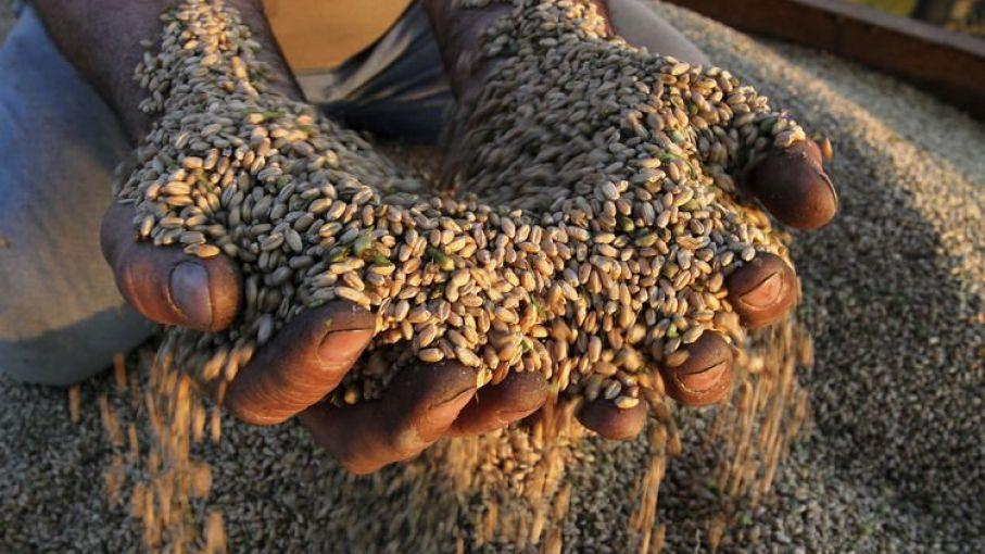 Trigo: altos rendimientos en granos y mejores  niveles de proteínas