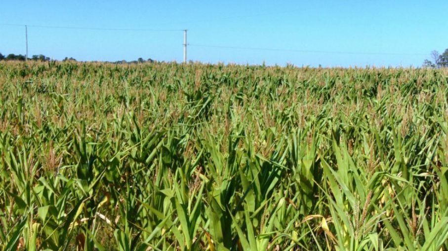 El rinde de la cosecha de maíz en Entre Ríos es 72,6% menor al promedio de los últimos 5 años