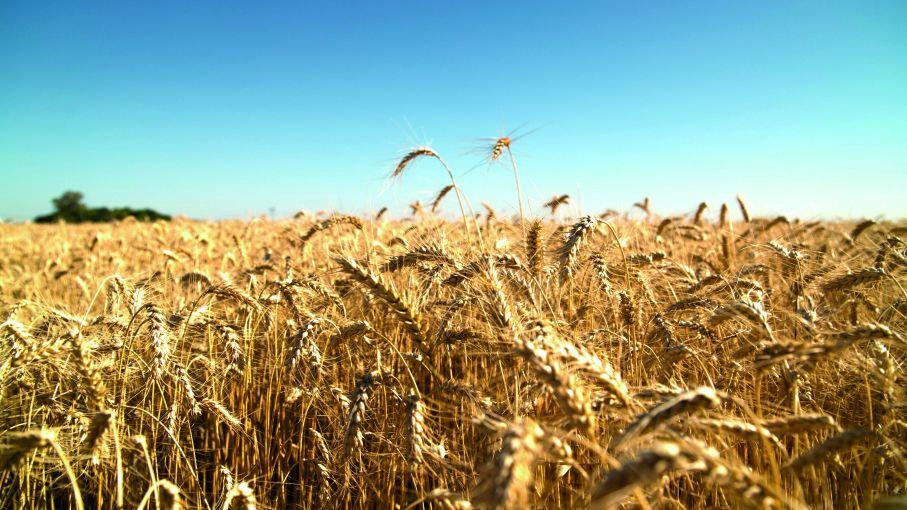 Napas recargadas: cómo potenciar el cultivo de trigo