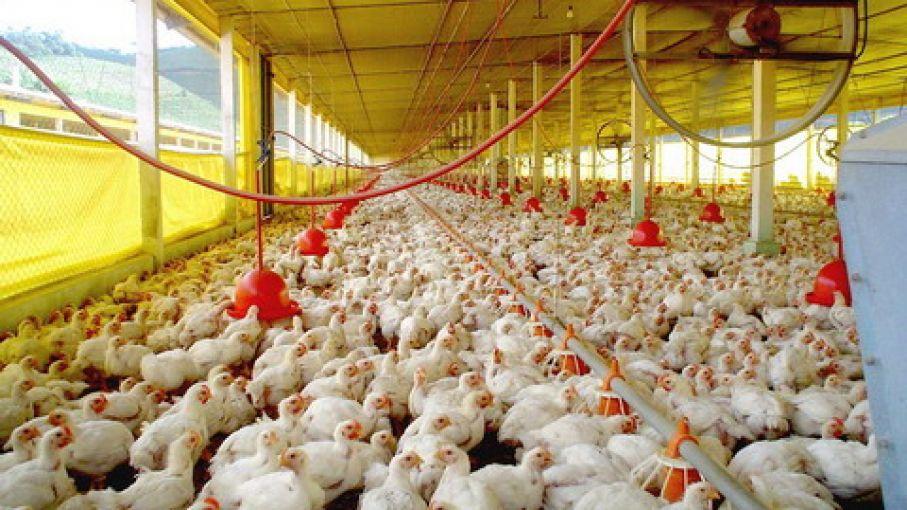 Fotos de granjas avicolas