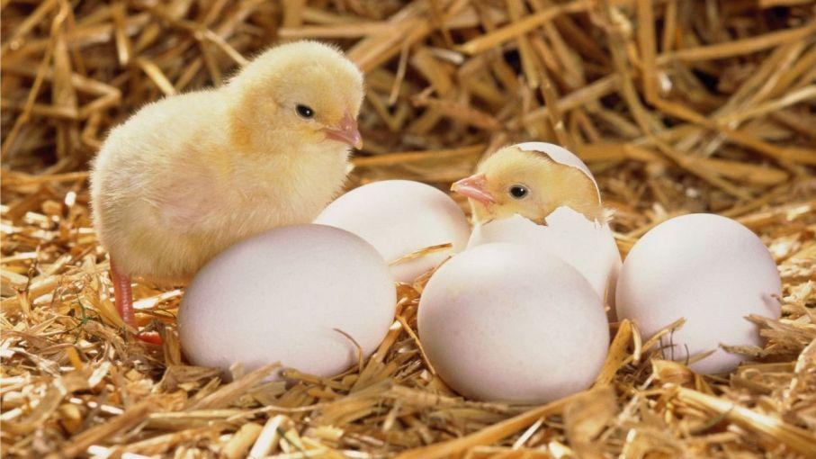 Un emprendimiento tucumano cambió la avicultura provincial - Agritotal